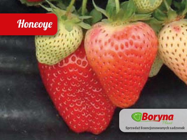 sadzonki truskawka honeoye odmiana bardzo wczesna