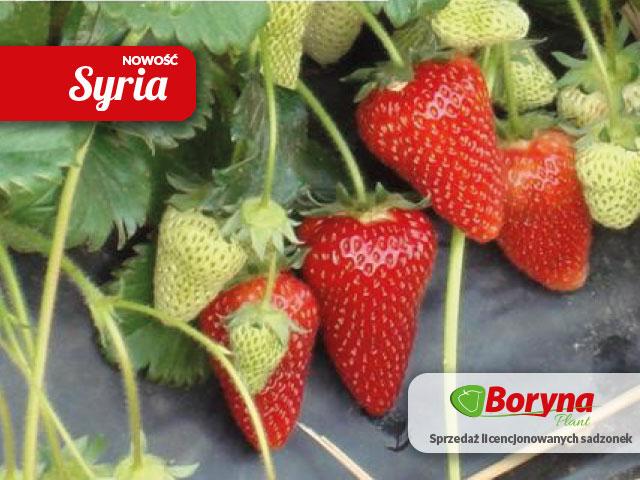sadzonki truskawek odmiana syria