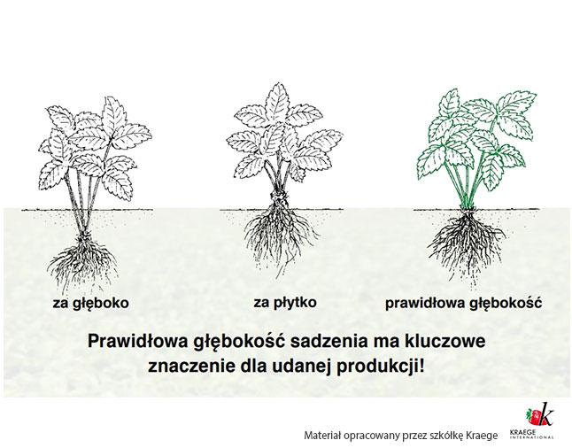 prawidlowe sadzenie truskawek szkolka