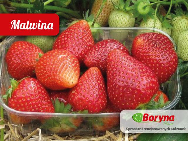 sadzonki truskawek frigo Malwina