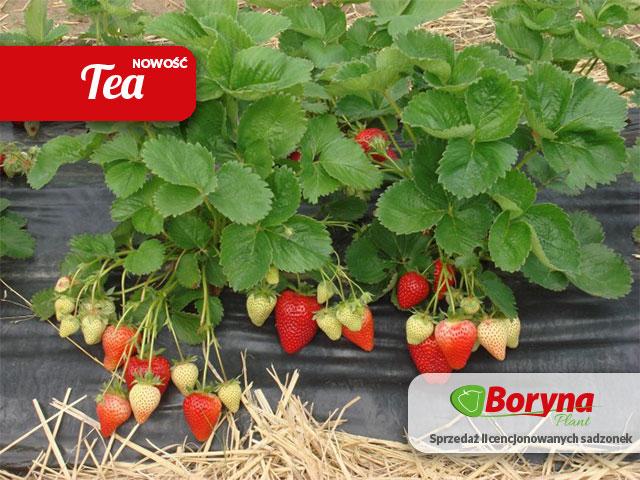 sadzonki truskawki odmiana tea