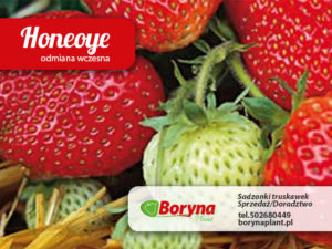 truskawki odmiany honeoye frigo sadzonki