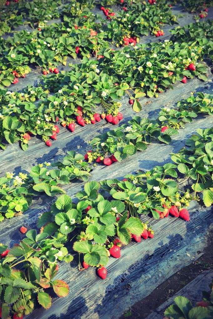 depositphotos_75000189-stock-photo-ripe-strawberry-field