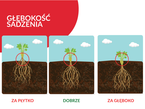 sadzenie-truskawek-frigo