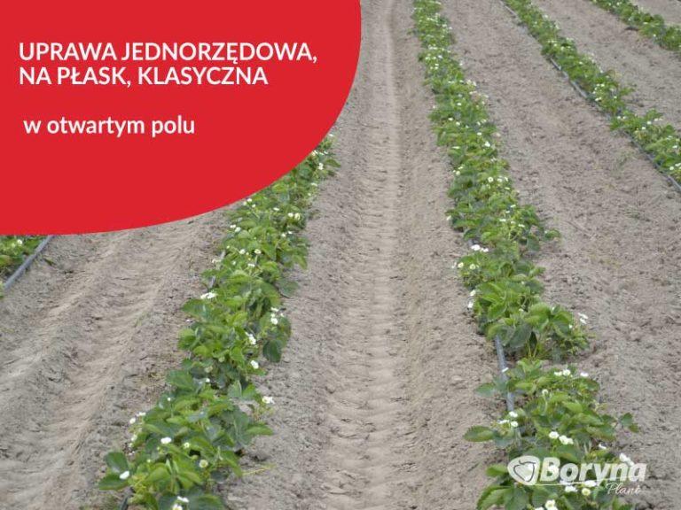 uprawa-jednorzedowa-truskawki-768x576
