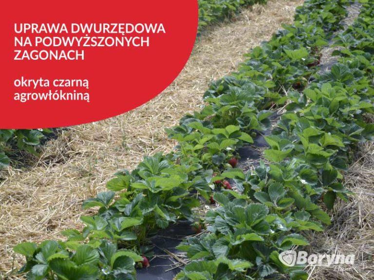 uprawa-truskawki-dwurzędowa-768x576