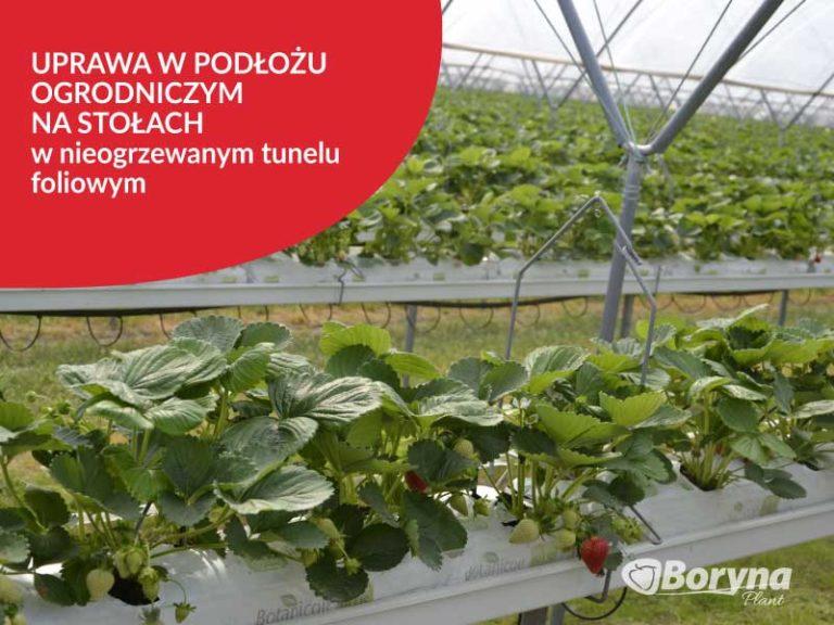 uprawa-truskawki-w-tunelu-na-stołach-768x576